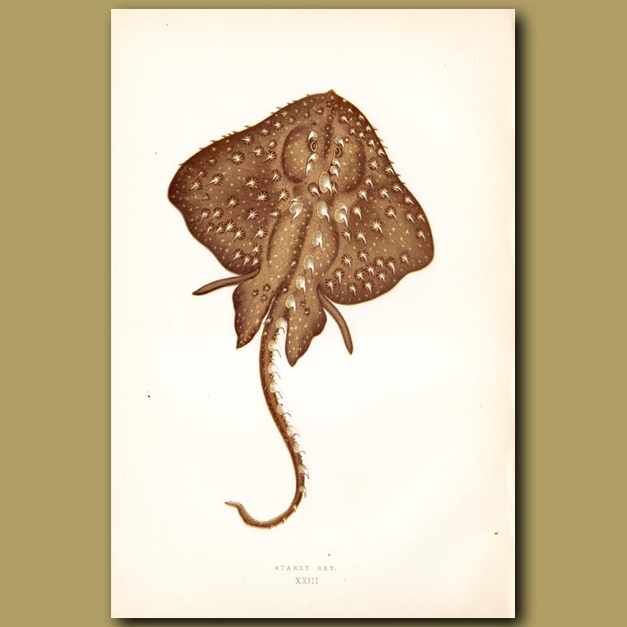 Antique print. Starry Ray