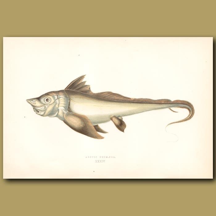 Arctic Chimaera: Genuine antique print for sale.