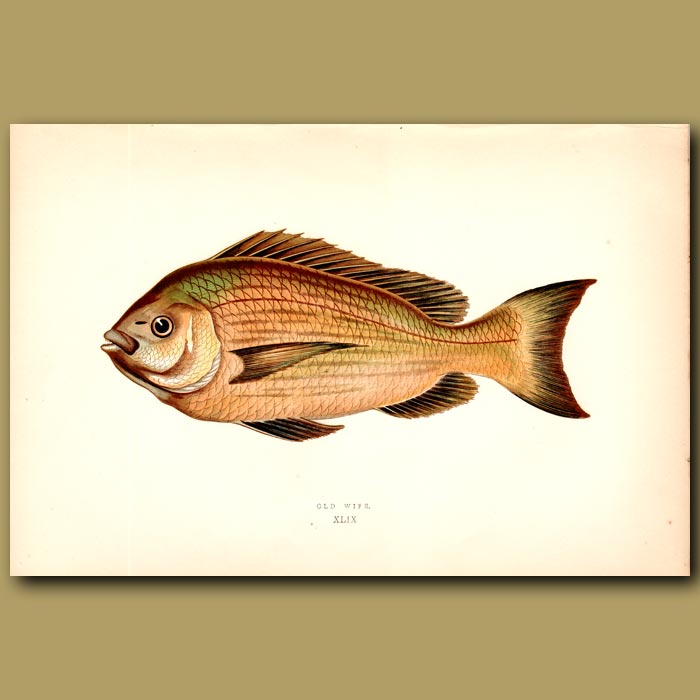 Antique print. Black Sea Bream or Old Wife