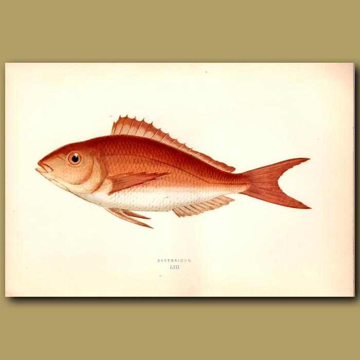 Antique print. Erythrinus Sea Bream