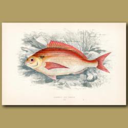 Common Sea Bream
