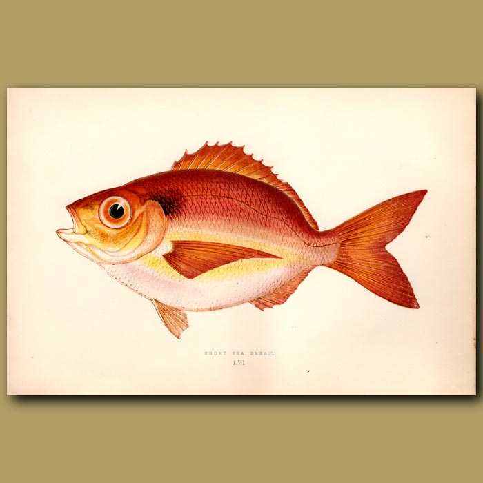 Antique print. Short Sea Bream