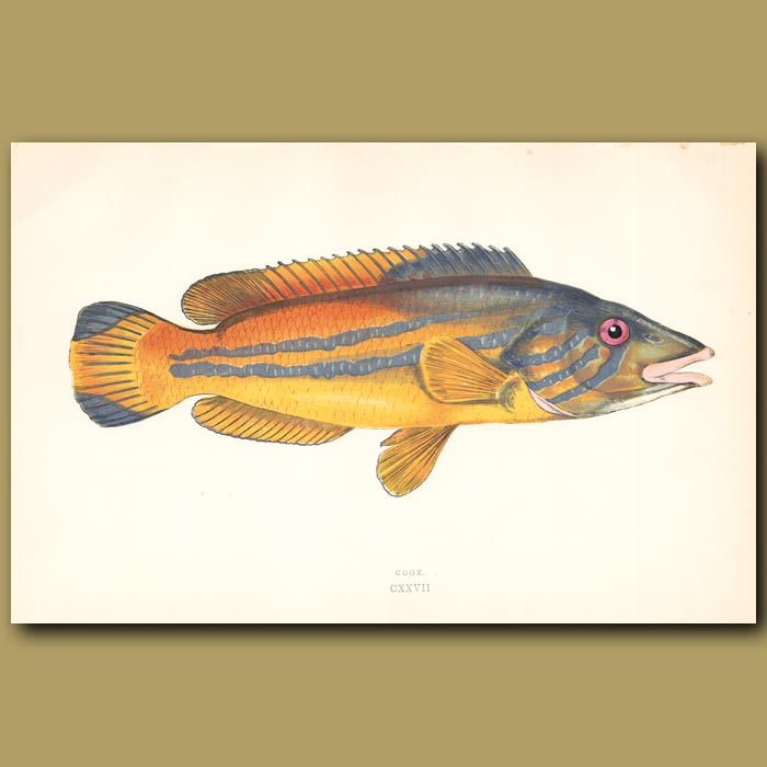 Cook or Cuckoo Wrass: Genuine antique print for sale.