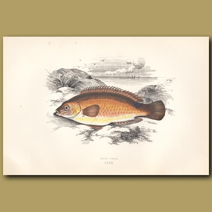 Rock Cook or Small-mouthed Wrass: Genuine antique print for sale.