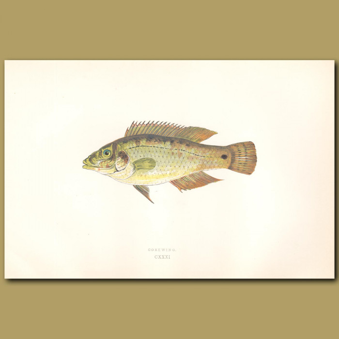 Corkwing: Genuine antique print for sale.