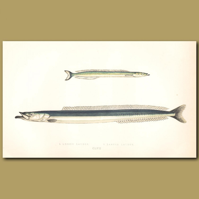 Lesser Launce and Larger Launce: Genuine antique print for sale.