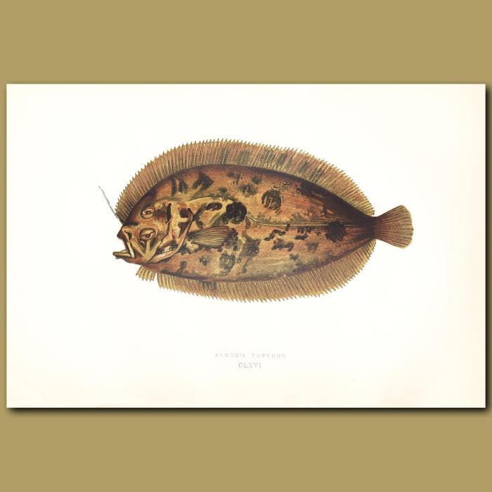 Bloch's Topknot: Genuine antique print for sale.