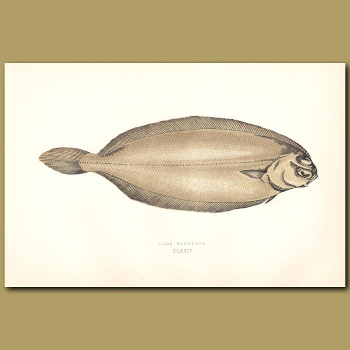 Long Flounder: Genuine antique print for sale.
