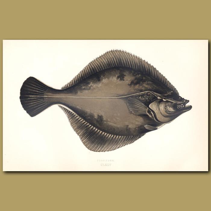 Flounder: Genuine antique print for sale.
