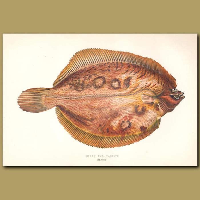 Smear Dab – variety: Genuine antique print for sale.