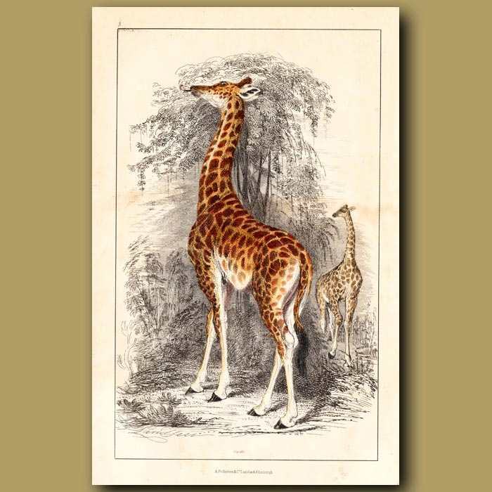 Antique print. Giraffes