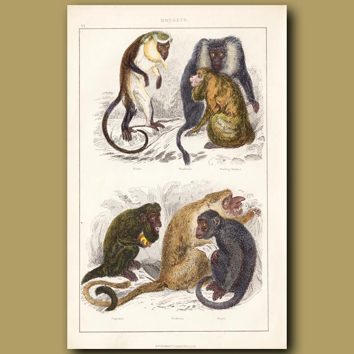 Antique print. Howling Monkey, Diana Monkey Wanderoo Monkey