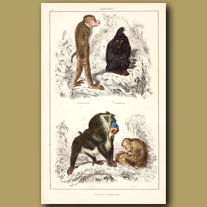 Antique print. Pig-tailed Baboon, Black Baboon