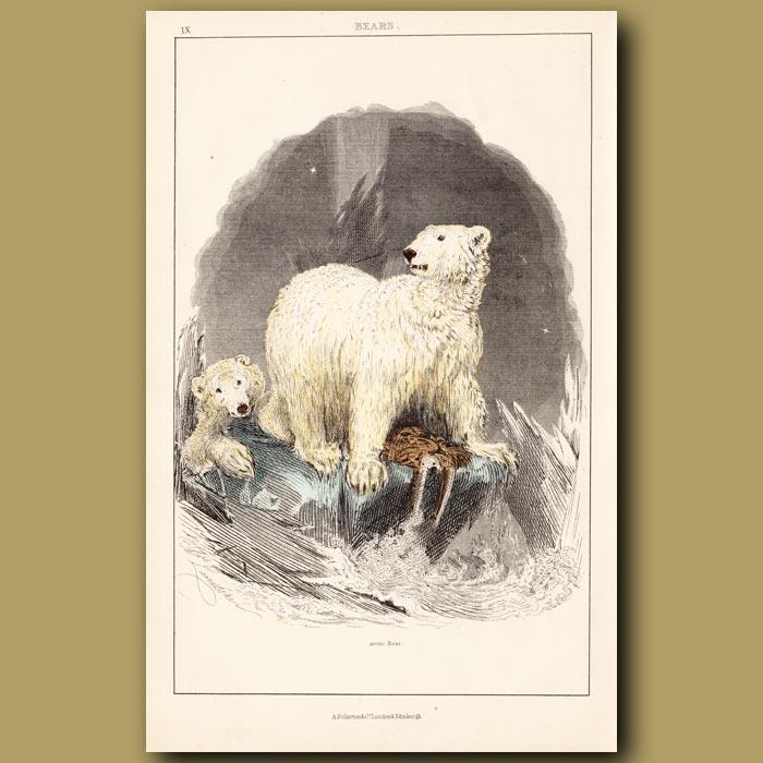 Antique print. Polar Bears