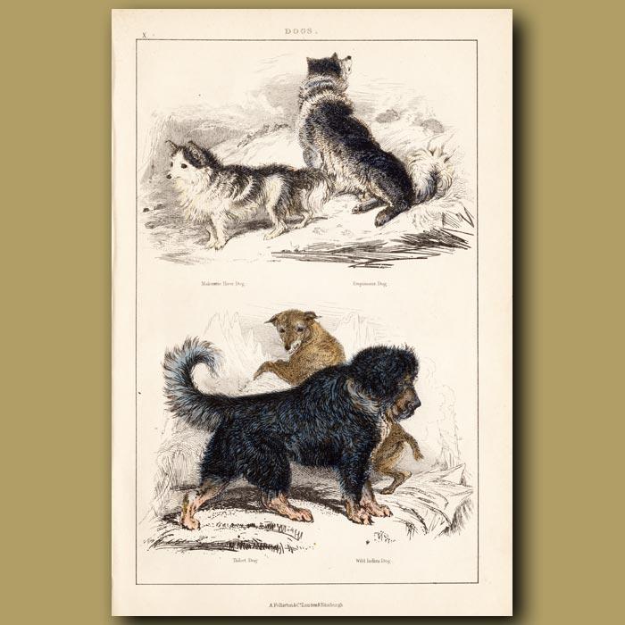 Antique print. Makenzie River Dog, Esquimaux Dog