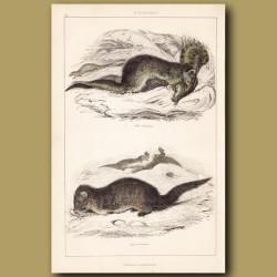 Indian Mongoose, Egyptian Mongoose