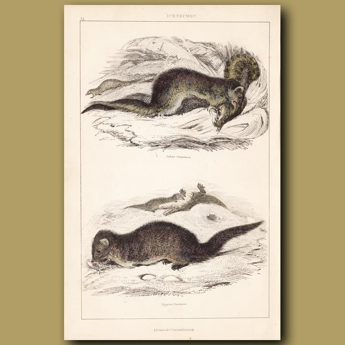 Antique print. Indian Mongoose, Egyptian Mongoose