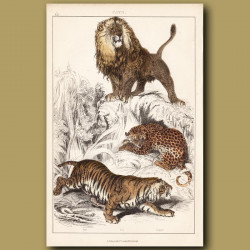 Lion, Tiger, Leopard