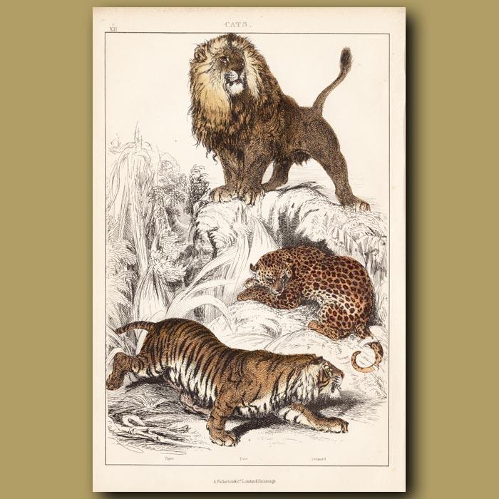 Antique print. Lion, Tiger, Leopard