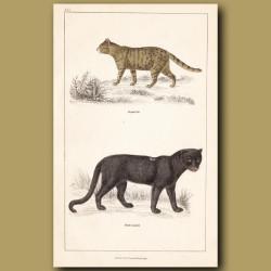 Nepal Cat, Black Leopard