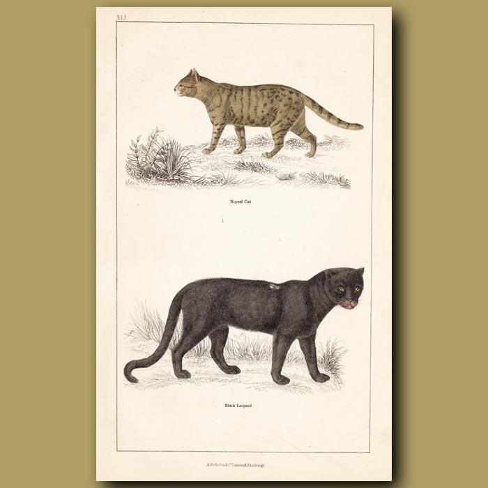 Antique print. Nepal Cat, Black Leopard