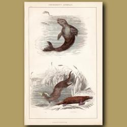 Seal, Otter, Tawny Platypus