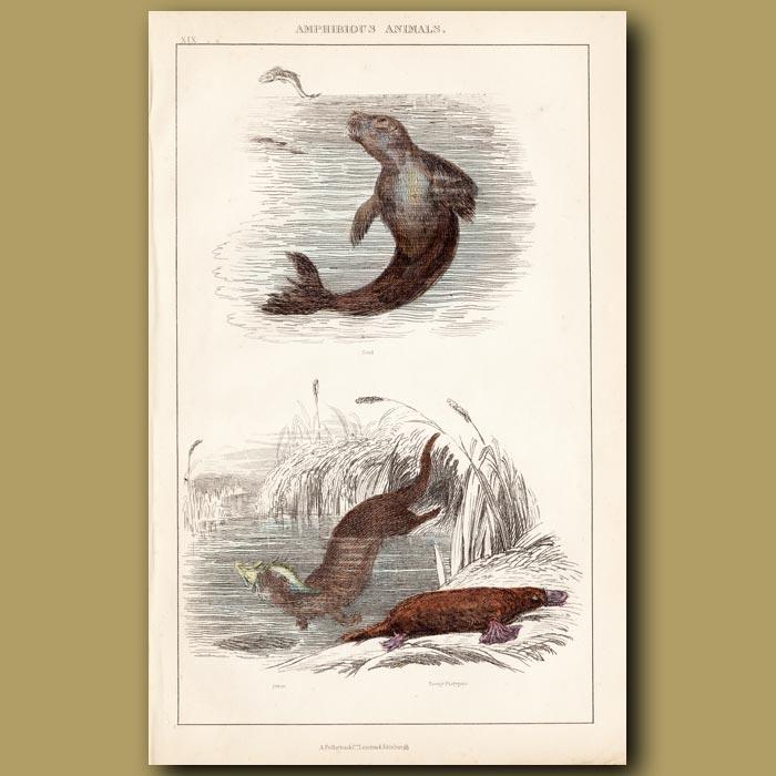 Antique print. Seal, Otter, Tawny Platypus