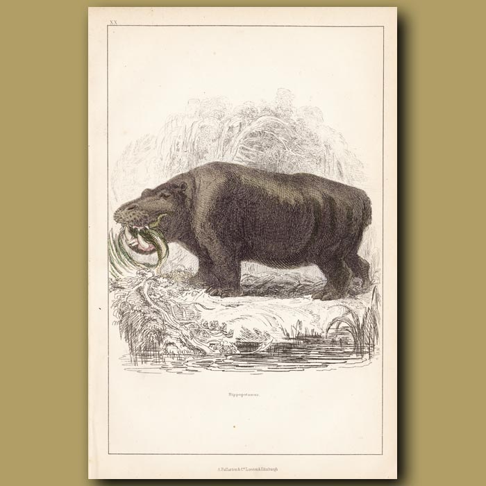 Antique print. Hippopotamus