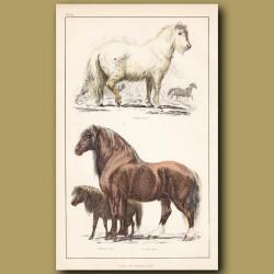 Calmuc Horse, Shetland Pony, Draught Horse