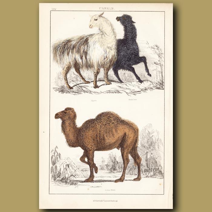 Antique print. Alpaca, Black Llama, Arabian Camel