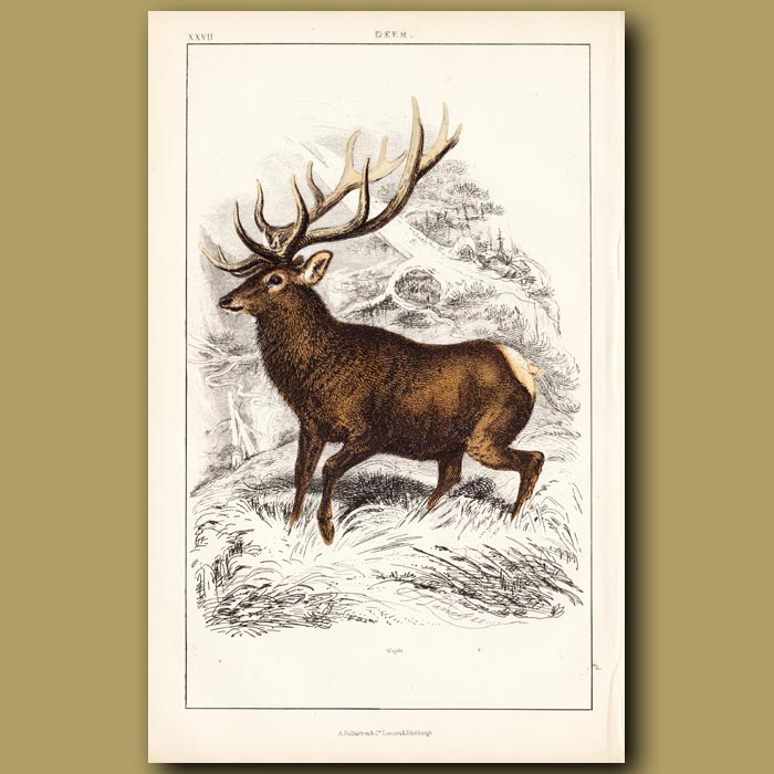 Antique print. Reindeer