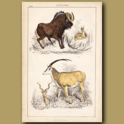 Gnu, Gazelle, Kudu, Sable Antelope