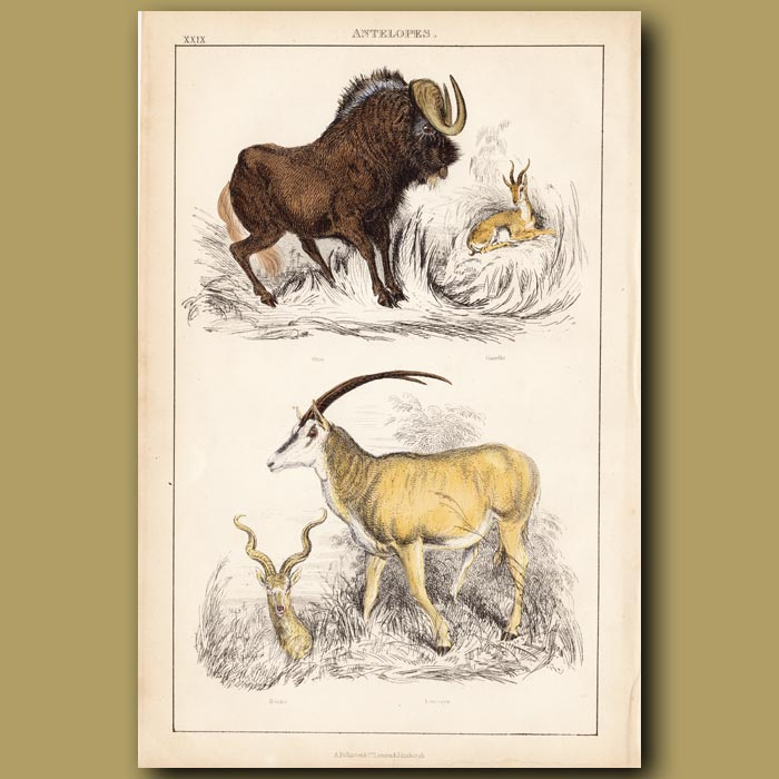 Antique print. Gnu, Gazelle, Kudu, Sable antelope