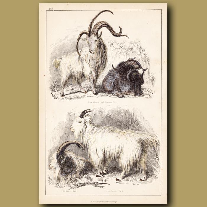 Antique print. Four Horned Goat, Common Goat, Cashmere Goat, Rocky Mountain Goat