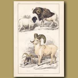 Persian Sheep, Guinea Sheep, Many-Horned Sheep, Rocky Mountain Sheep
