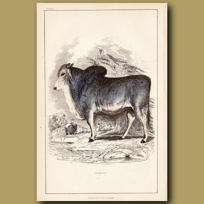 Antique print. Brahmin Bull
