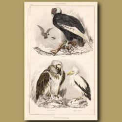 Condor, Bearded, Egyptian Vulture