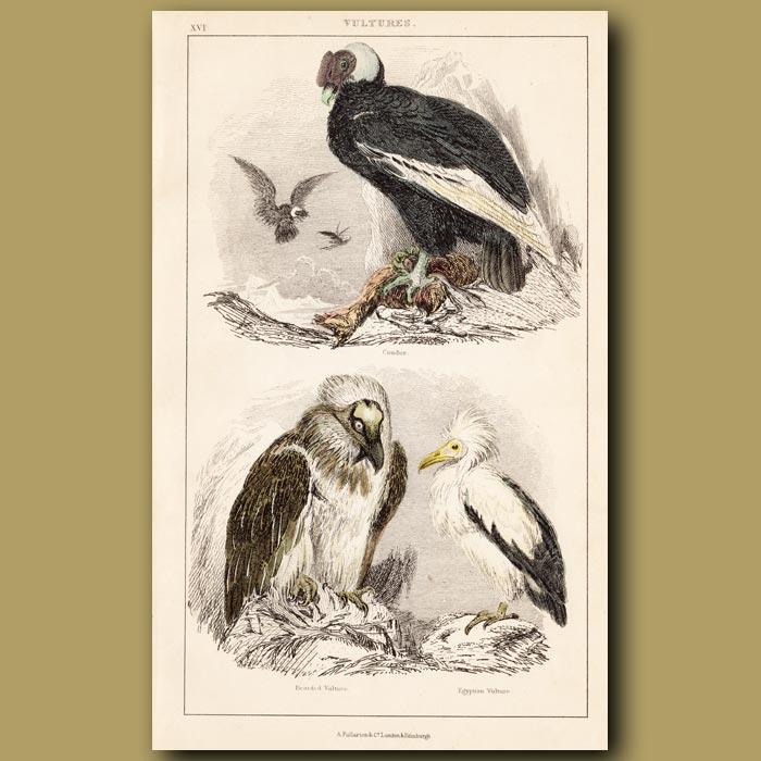 Antique print. Condor, Bearded, Egyptian Vulture