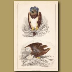 Harpy Eagle, Sea Eagle