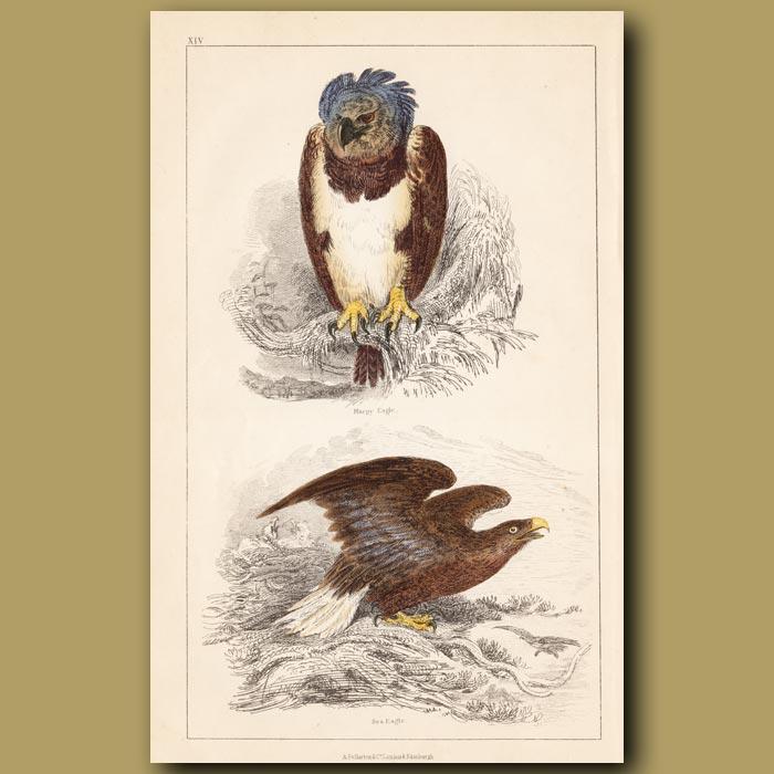 Antique print. Harpy Eagle, Sea Eagle