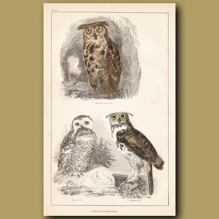 Antique print. Virginian Eagle Owl, Snowy Owl, Egyptian Owl