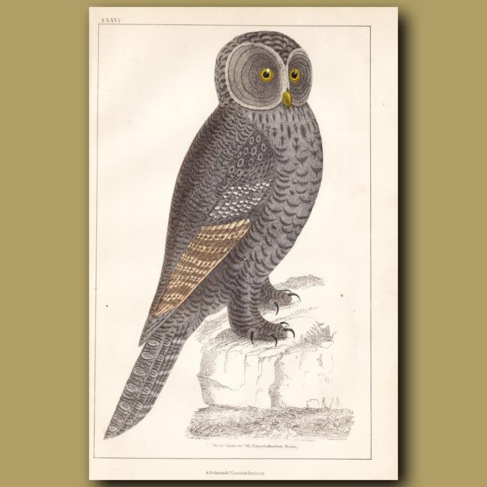 Antique print. Great Cinereous Owl