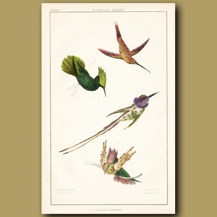 Antique print. Hummingbirds