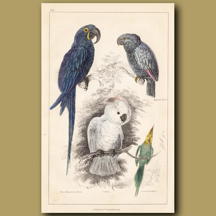 Antique print. Price Maximilian's Macaw, Imperial Parrot, Cockatoo, Crested Parrakeet