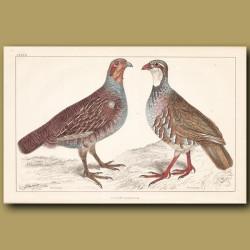 Grey Partridge, Red Partridge