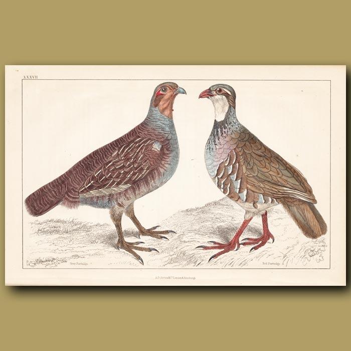 Antique print. Grey partridge, Red Partridge