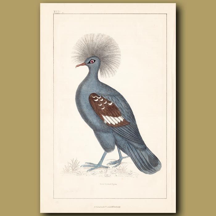 Antique print. Great Crowned Pigeon