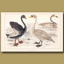 Black Swan, Mute Swan, Whistling Swan