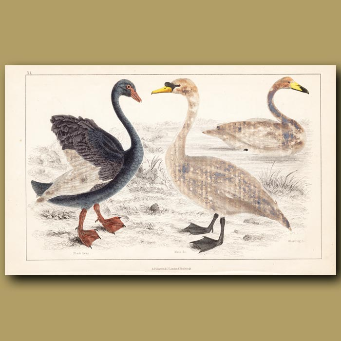 Antique print. Black Swan, Mute Swan, Whistling Swan