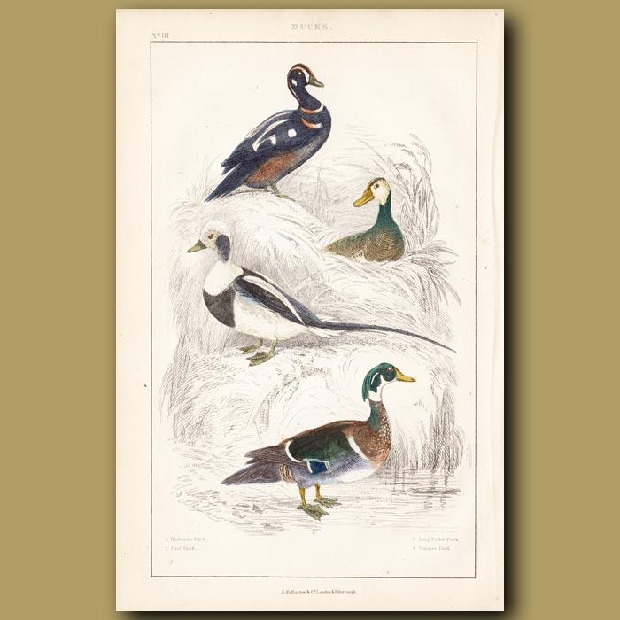 Antique print. Harlequin Duck, Ural Duck, Long-tailed Duck, Summer Duck
